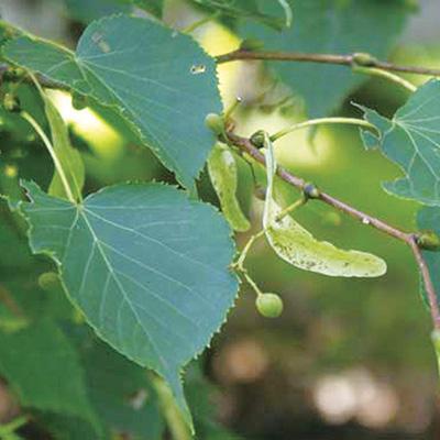シナノキ(科の木、級の木)