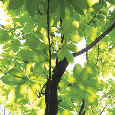 トチノキ(栃の木、橡の木)