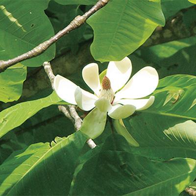 ホオノキ(朴の木)
